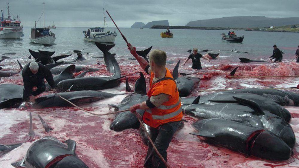 Contre la chasse aux dauphins ( le Grind ) aux iles Féroé
